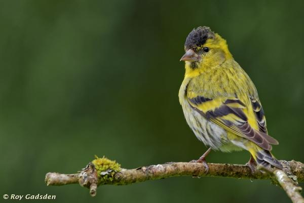 Male Siskin by Roy Gadsden