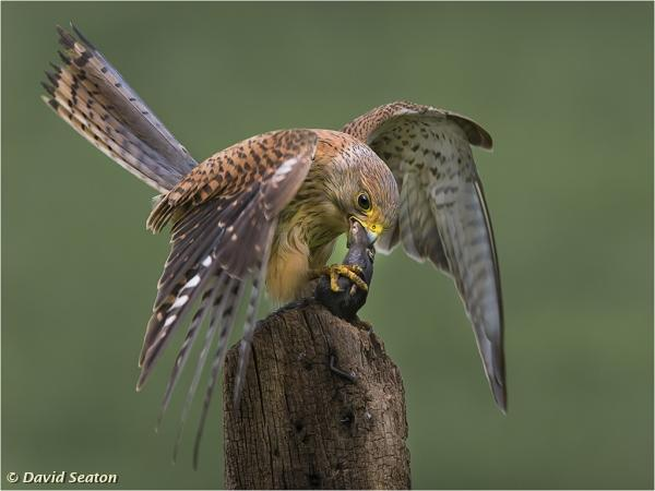Kestrel with rodent by David Seaton